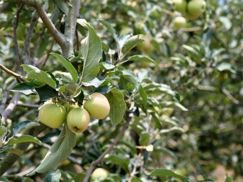 Kebun Buah Apel salah satu jenis Agroekosistem